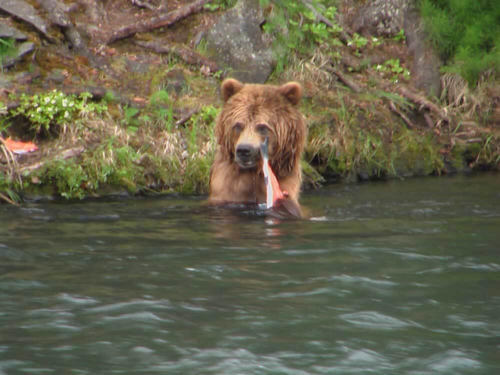 wildlife bear photo lake creek fishing lodge